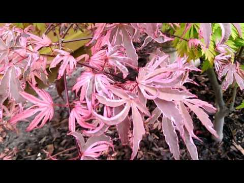 Acer Shirazz / Pink Passion - Leaf Detail - 17th May 2017