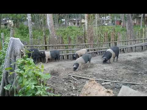 Fig farming in Assam.