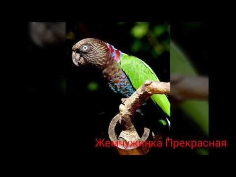 Веерный попугай.