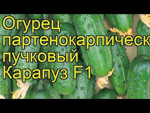 Огурец Карапуз (Огурец). Краткий обзор, описание характеристик, где купить семена cucumis sativus
