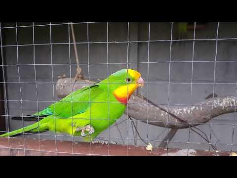 Барабантов роскошный попугай