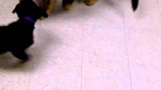 Rottweiler Vs. German Shepherd (puppy Fight)