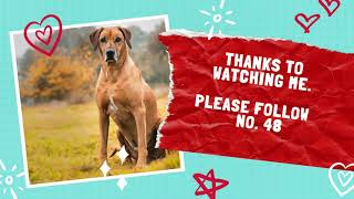Rhodesian Ridgeback Dog | The Top 50 Most Popular Dog Breeds In The World