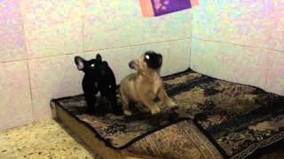 French Bulldog Puppies Imported For Sale
