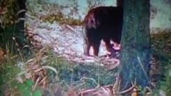 Wolverine Vs Black Bear