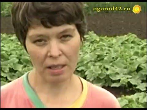 Сорта огурцов для Сибири, для открытого грунта. От новосибирских селекционеров | плодоношение | защищенный | филаткина | урожайные | комнатные | селекция | открытый | садовод | людмила | урожай