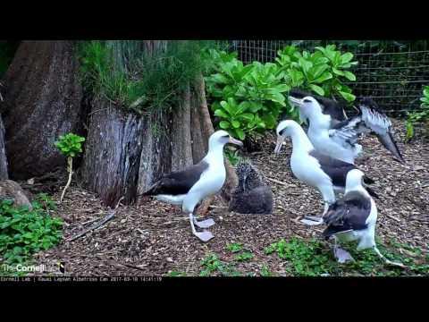 Laysan Albatross Cam - Kalama joins the dance party - 03-10-17
