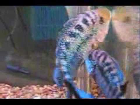 Jack Dempsey Cichlid, Rocio octofasciata Dempsey Fish Guide