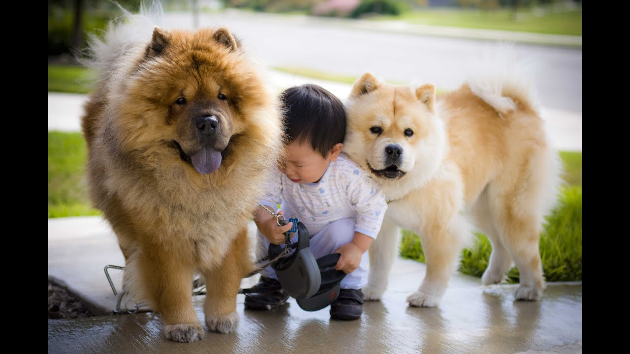 baby loves to take dogs for a walk cute chow chow and