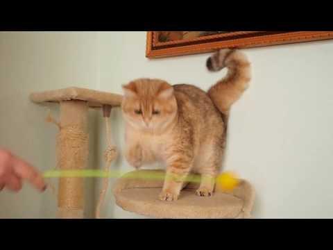 British golden cat (female)