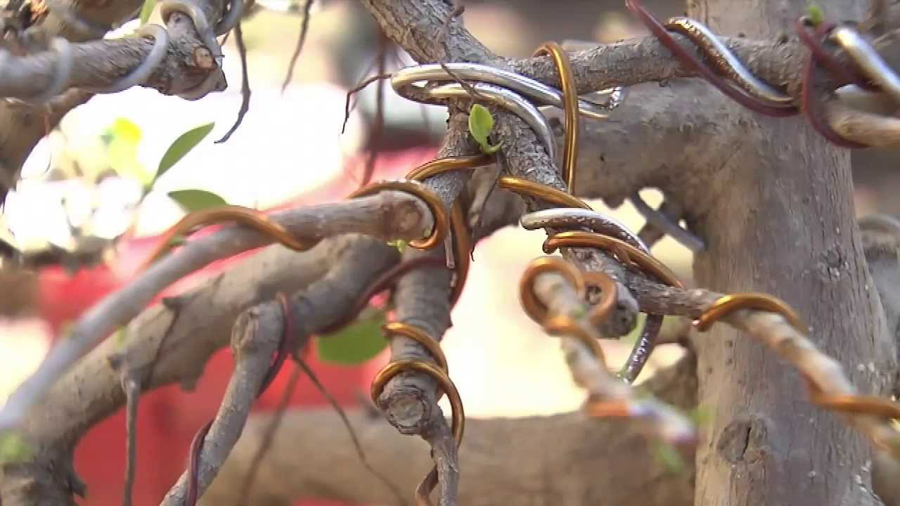 Cultivo del bonsai en rep blica dominicana youtube - Cultivo del bonsai ...