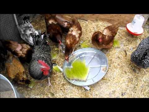 Chickens First Fodder