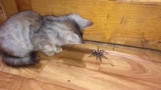 Огромный паук разогнал мужиков и напал на котёнка