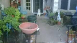 Cavalier King Charles Spaniel Vs West Highland White Terrier Pt1