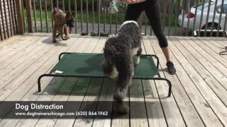 Dog Training: 8 Month Old English Sheepdog, Max! Before and After Two Week Board and Train