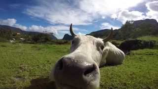 Curious Cow sniffing my GoPro