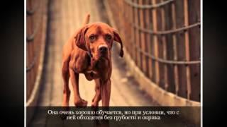 Венгерская выжла легавая Крупные породы собак