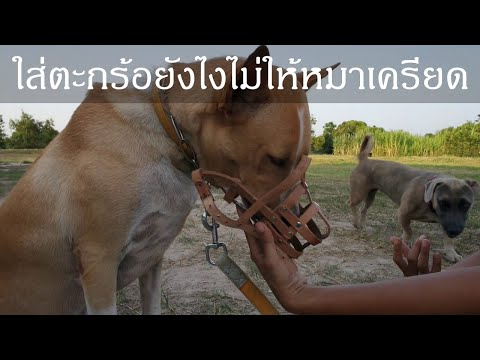 khon-jai-ma-|-how-to-put-the-muzzle-on-without-causing-stress-to-your-dog