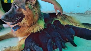 German Shepherd Double Coat Puppies FOR SALE || Mom PLAYING with  cute little puppies Doggyz World