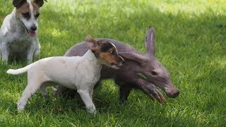 This Baby Aardvark Thinks She's A Completely Different Animal – And Plays Like Part Of The Pack Too! YouTube Videos