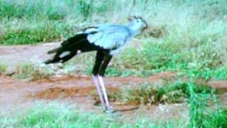 Secretary Bird Stomps On Snake! thumbnail