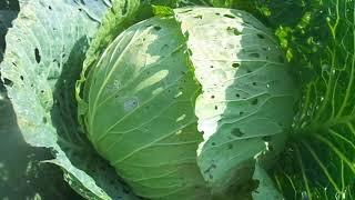 Выращивание без химии  самых вкусных и урожайных сортов капусты   Мегатон, Ринда и Валентина .