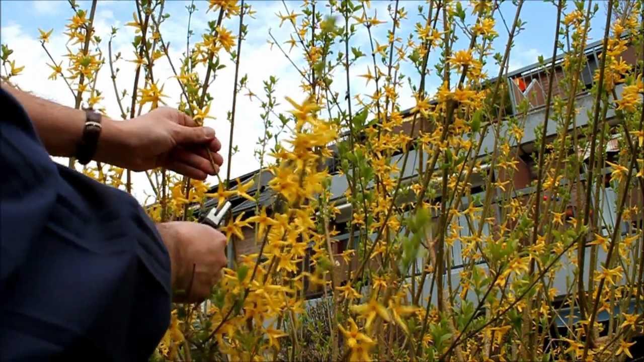kletterrosen schneiden nach der blüte