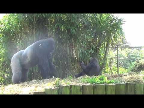 Western Lowland Gorillas at Bristol Zoo