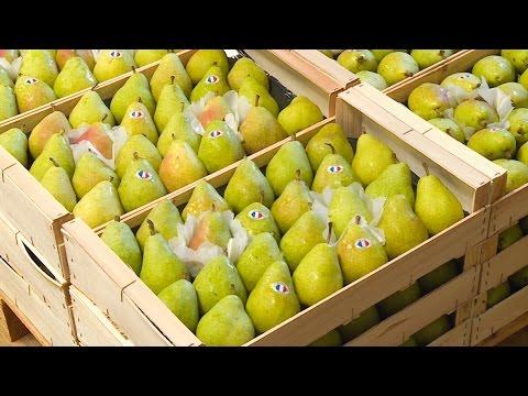 Enquête : la poire française, 200 ans de tradition