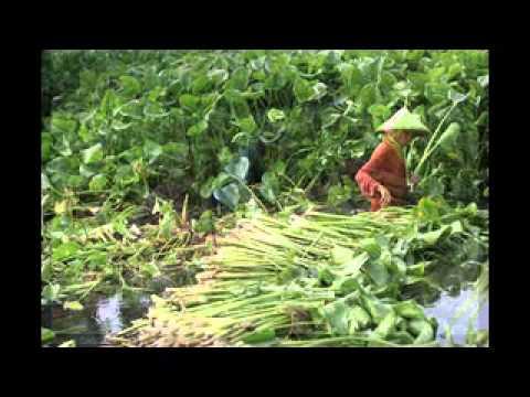 HYACRAFT  process of making hyacinth products