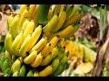 Как растут бананы Бананы Таиланда mp3