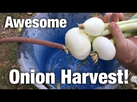 Awesome Aquaponic Onion Harvest!
