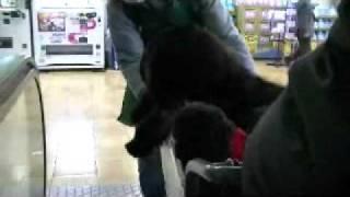 ニューファンRIKUはホームセンターのカートに乗るのが好き。エスカ...
