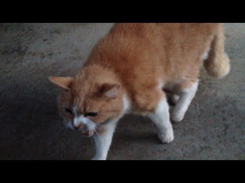 Nasty cat never backing down against Rottweiler dog to defend it's territory