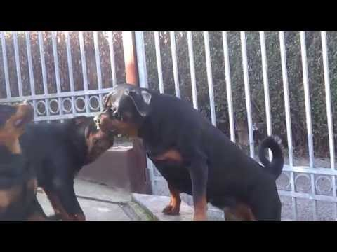 Two rottweiler puppies 5 months old,top puppies!!!