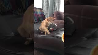 Ориентальный кот Бенитто и сырник)