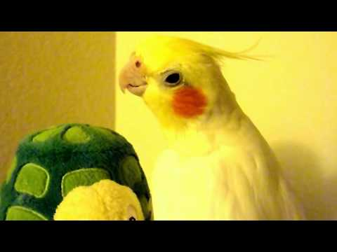Cockatiel Serenades Turtle (Andy Griffith Theme Song)