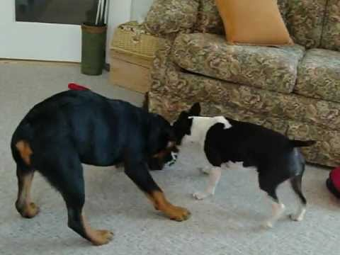 SHOCKING Brutal Fight Between A Boston Terrier And A Rottweiler - Terrier and rottweiler