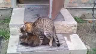 Cats mating in the Countryside (part 3)