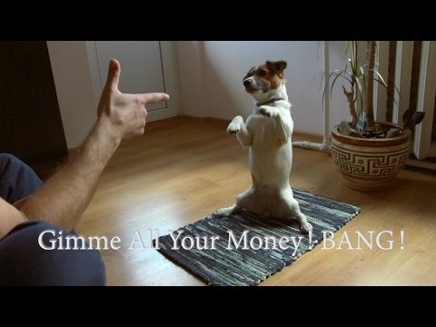Attack!  | Jack Russell Terrier has Mastered advanced command