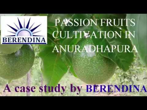 Passion Fruit cultivation in Anuradhapura