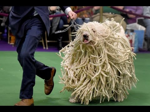 Komondor - DOG LOVERS ❤