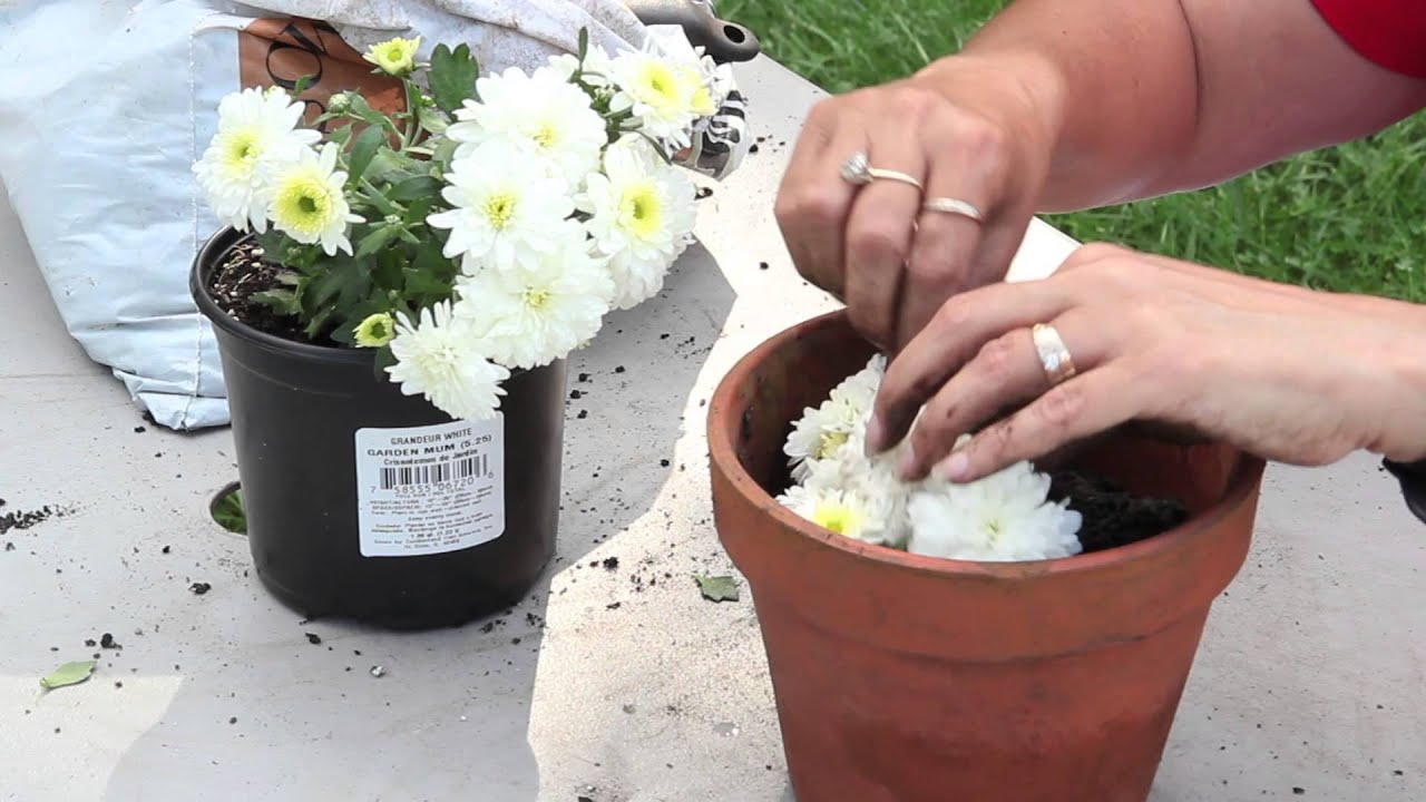 Mother In Law S Tongue How To Propagate Mums By Cuttings Planting Amp Caring For
