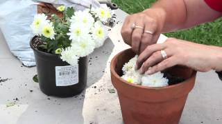 How to Propagate Mums by Cuttings : Planting & Caring for Mums thumbnail