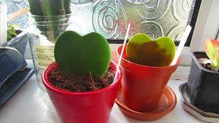 Avoid the Hoya Kerri Plant single leaf Valentines day GIMMICK