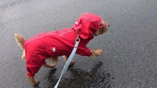 レインコート着るのは嫌。 帽子かぶって散歩行くのは普通。 雨の日の散...