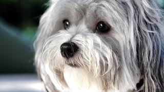 Havanese  Dog Breed  Pet Friend
