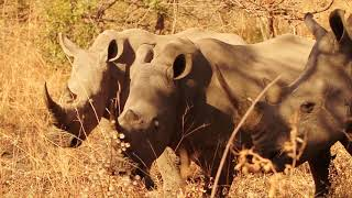 Rhinos - Africa's Wild Wonders - The Secrets of Nature thumbnail