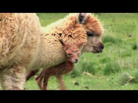 Baby Alpaca, Estancia Del Zorro, Patagonia, Chile