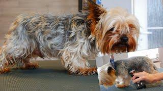 Full Grooming Yorkshire Terrier  From Start to Finish